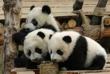 Pandas  / by Melissa Harris