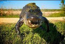 alligators / by Sydney Vegezzi