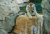 tigers / by Sydney Vegezzi