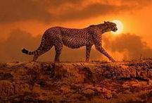 cheetahs / by Sydney Vegezzi