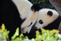 Pandas / Amor por los pandas :3 / by Ana Hdz