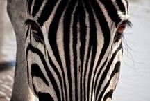 Zebra! / by Hannah Ruegsegger