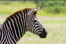 Zulu Nyala Safari Experiences / ZULU NYALA GUEST PHOTOS (www.facebook.com/groups/ZuluNyala) Share your most memorable Zulu Nyala Safari experiences! / by Zulu Nyala