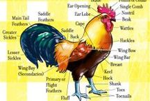 Farming-Poultry / by Mike Engelbrecht