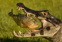 gator / by Nancy Murray