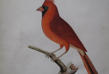 Albin Birds / by Marsh's Library