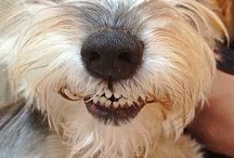 All that's  Schnauzer  / Grooming info, personalities, precious pictures, etc. / by Ashley Smith