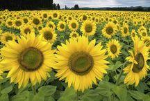 Flower, Sunflower / by johanna thommen