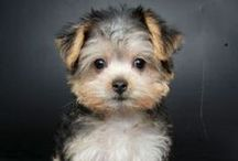 Maltese / This Board highlights just how cute the Maltese breed can get. / by Dog Names and More
