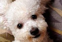 I LOVE Bichon Frises / Owner of a very spoiled bichon frise, Lucy age 10 / by Lorraine Dunleavey