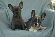 Frenchies / by Judi Bonham
