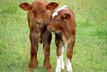 HATE cows LOVE calves,  haha / by Mary Flint Vandenabeele