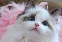Ragdoll Beauty / I love Ragdoll cats - Board made by Feride Özmat - Istanbul / Turkey / by Feride Ozmat