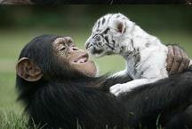 Apes and Monkeys / by Genevieve Faciana