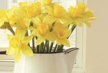 ~ daphnie's daffodil cottage ~ / Yellow cottage - daffodils / by Gold Dust Woman