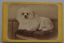 Bichons 1800 - 1900 / by Denny Bellavere