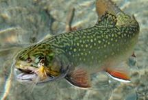 Brook Trout / by Todd Konitzer