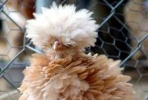 GARDEN Chickens ♥ / Ideas, how-tos, and tours for keeping chickens including coops, pens, hen houses, nesting boxes, free-range urban and rural habitats, health and care, feed, collecting eggs, and chickens as pets. / by Melissa @EmpressOfDirt.net  ❤
