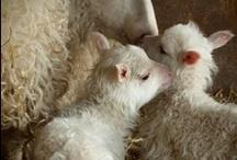 Sheep / by Rachael Bott