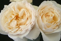 Cream and Off-white Flowers / by WholeBlossoms Wholesale Wedding Flowers