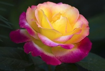 Roses / by Kay Parker