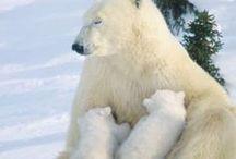 Polar Bear / Polar Bear / by Buddy Parsons