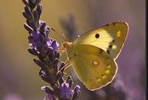 LAVENDER / Everything having to do with LAVENDER!  / by Shelley Myers