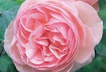 Flowers - Pink / by Suzette Follette