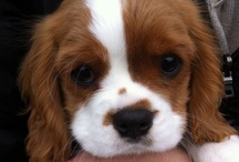 Cavalier Puppies / Please be careful when choosing a breeder.Any photos shown here are not promoting any seller they are simply cute pups. / by Deb Stewart