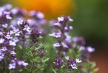 Herbs / Culinary herbs for patio pots and window boxes / by BBC Gardeners' World Magazine