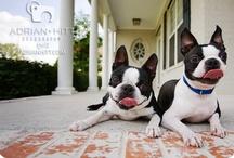 Boston Terrier / by Adrian Hitt Dogography