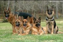 German Sheperd Dogs / Deutsche Schaeferhunde / by Helga Schaedler