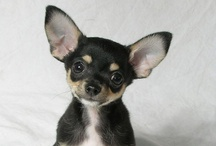 CHIHUAHUAS / by Sharyn F
