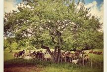 goats! / by Fat Toad Farm