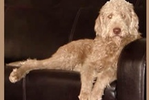 Labradoodles / by Cindy