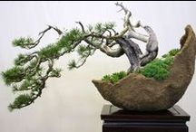 Bonsais / Bonsai (盆栽?, lit. plantings in tray, from bon, a tray or low-sided pot and sai, a planting or plantings) is a Japanese art form using miniature trees grown in containers.  [Wikipedia] / by Nico