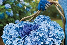 HYDRANGEAS IN MY SECRET GARDEN :P / They are so lovely!  / by Erika Cristina