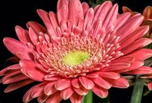 Floral: Daisy (all types) / by Judy Wolfram