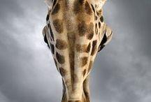 Giraffe / Giraffe, the tallest living land mammal.  / by Fossil Rim Wildlife Center