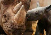 Rhinoceros / Southern white rhinos, Southern black rhino / by Fossil Rim Wildlife Center