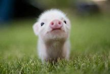 Little Piggies / Think P.I.G.- persistence, integrity, and guts  / by Rachel Moshman