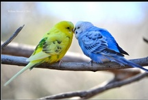 Budgies / by Amanda Neely