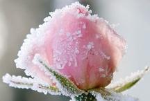 Roses / by CHERYL     <*}}}><
