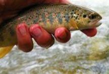 Especies de pesca / Clic & Fish - especies de pesca en río. Más información en https://clicandfish.com/especies / by CLIC & FISH