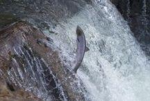 La danza de los salmones / Clic & Fish - Impresionantes imágenes del remonte de los salmones en el río Sella, en Asturias. Más información en https://clicandfish.com/blog/la-danza-de-los-salmones / by CLIC & FISH