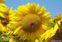 flores, flores beleza e cor! / flores de sites e minhas fotos / by Damiria Machado
