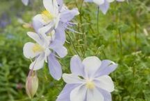 Columbine / Health Sciences Library ode to the Colorado's state flower, the white and lavender columbine (Aquilegia caerulea).  / by Health Sciences Library, Anschutz Medical Campus, University of Colorado