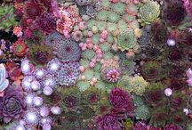 succulents / hens & chicks, other succulents / by Ruth Haldeman