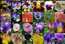 Pansy's, Violas & Violets / My Favorite Flowers ! / by Marion Phillips-Eaton