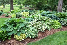 Hostas: A place in the shade. / by Maria Guadalupe Quintero